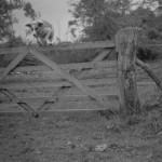 dog jumping a gate in the 1940s
