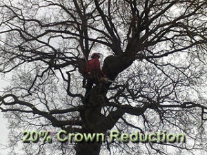 Arborist conducting a crown reduction in climbing harness