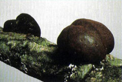 Daldinia concentrica or King Alfred's cake a burnt looking fungus responsible for soft rot.