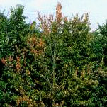 An Elm with browned leaves amongst green,