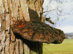 A brown bracket fungus drooping from a tree trunk to show the dark hair like patterns.