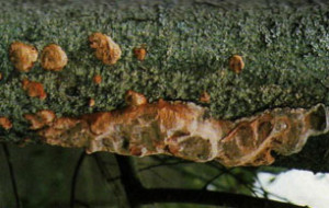 A brown, blister like fungus growing underneath a branch.