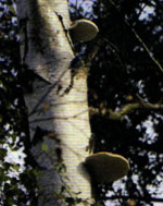 A silver birch with ears of fungus growing from the trunk